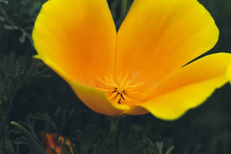 Eschscholzia californica, Fields of California Poppy during peak blooming time royalty free stock image