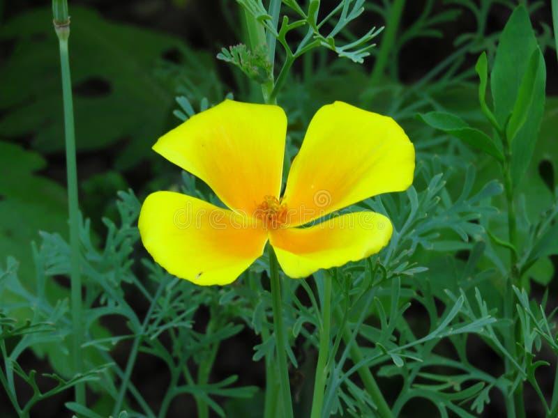 Eschscholzia Californica, Kalifornia maczek Ogrodowy pomarańczowego koloru żółtego makowy kwiat Wiosna, lato, jesień plenerowy kw fotografia stock
