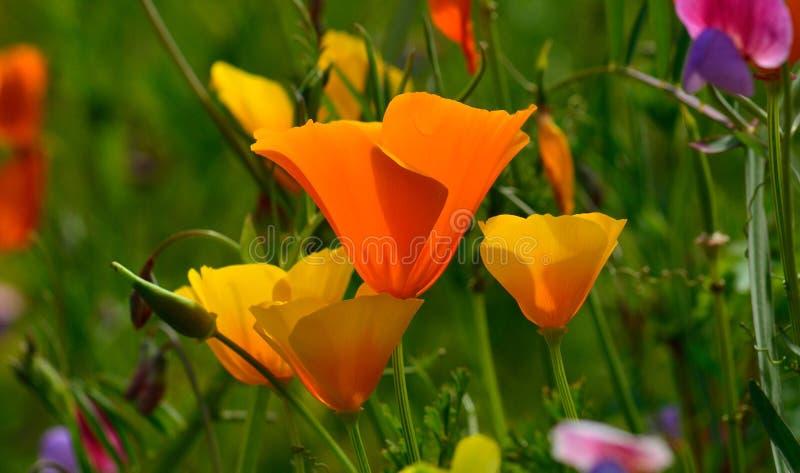 Eschscholzia-californica Wildflowers stockfotografie