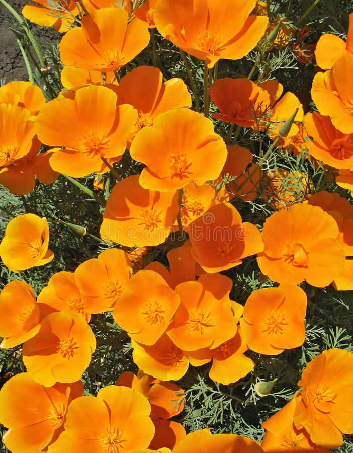 Eschscholzia orange - backgroung de fleur images stock