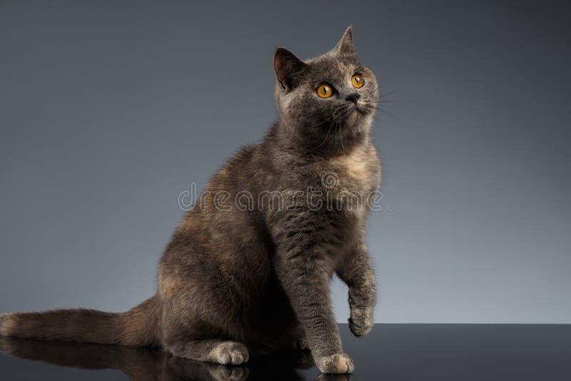 Escocés Cat Sits en Gray Mirror y la mirada para arriba foto de archivo