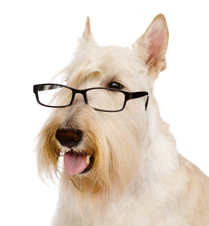 Escocés Terrier con los vidrios Aislado en el fondo blanco imagenes de archivo