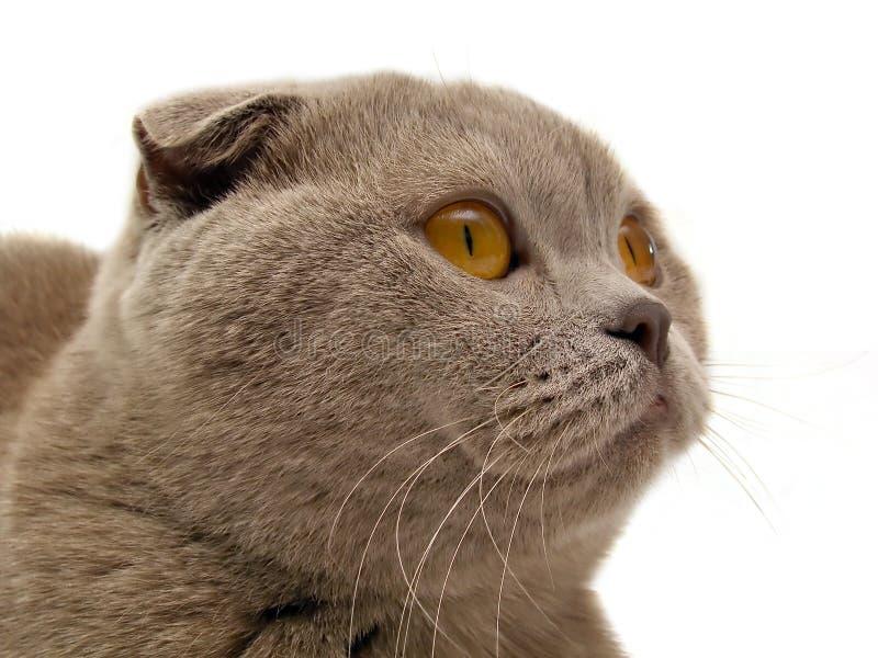 Escocês-dobre o gato imagens de stock