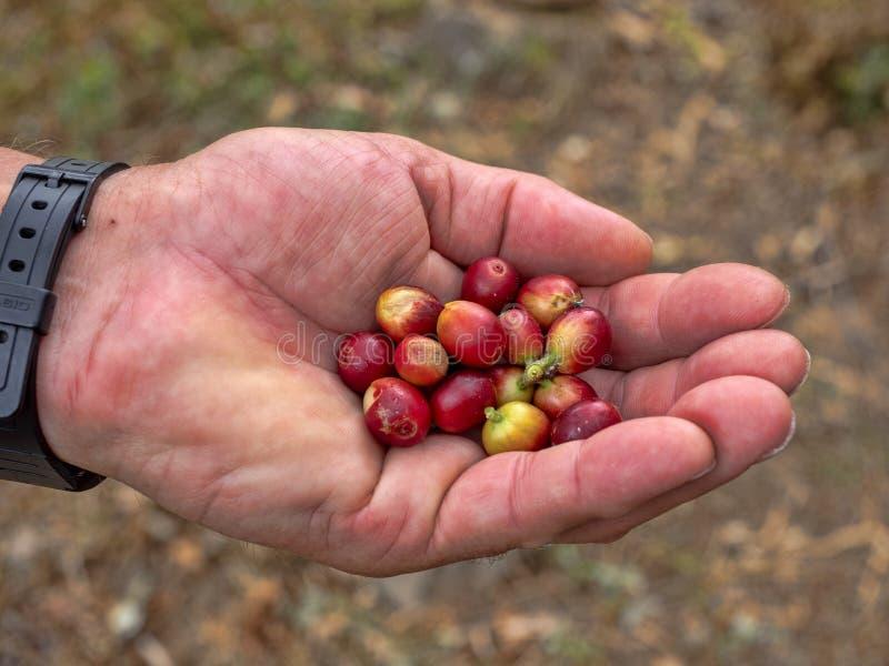 Escogió recientemente las bayas de café, Salvador fotografía de archivo