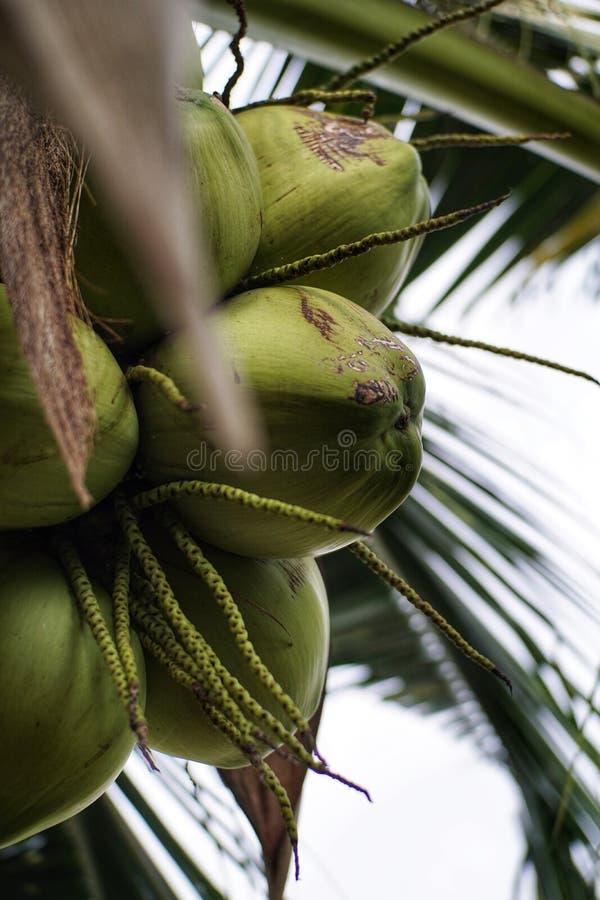 Escogiendo el coco con el papá al aire libre imagen de archivo