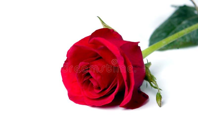 Escoja color de rosa foto de archivo
