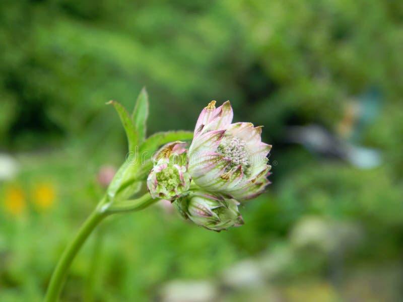 Escoja la flor blanca del comandante del Astrantia y de x28; gran masterwort& x29; ciérrese para arriba en un fondo verde imagen de archivo libre de regalías