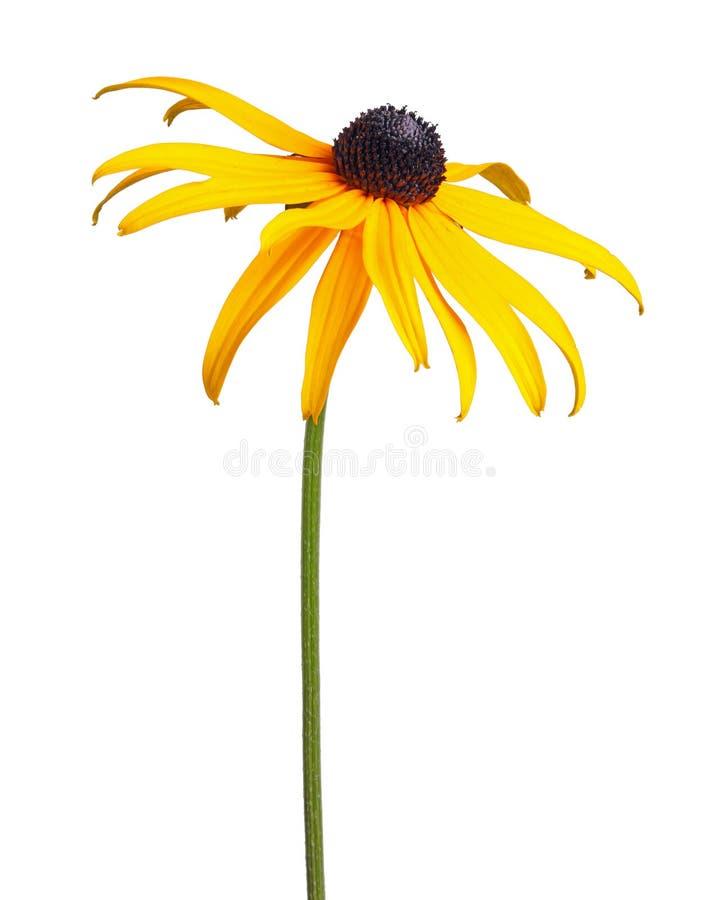 Escoja la flor compuesta de un Rudbeckia aislada en blanco foto de archivo