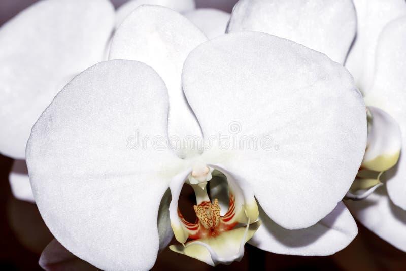Escoja la orquídea del blanqueo fotos de archivo