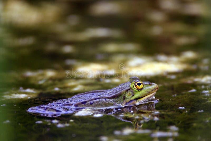 Escoja la rana comestible en superficie del agua durante un período de acoplamiento de la primavera imagenes de archivo