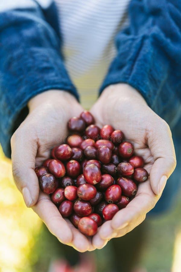 Escoja las bayas de café a dedo rojas maduras del Arabica en manos en el pueblo de Akha de Maejantai en la colina en Chiang Mai,  imagenes de archivo