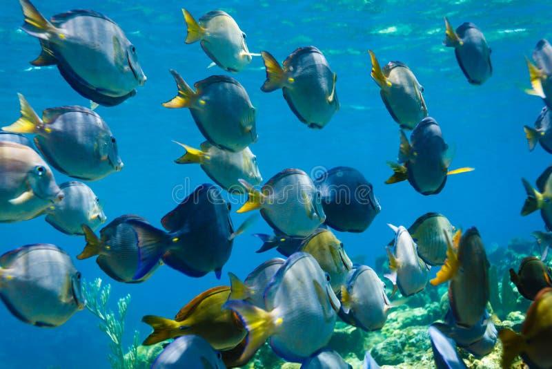 Escola da natação azul dos peixes do coeruleus do acanthurus da espiga no recife de corais foto de stock royalty free
