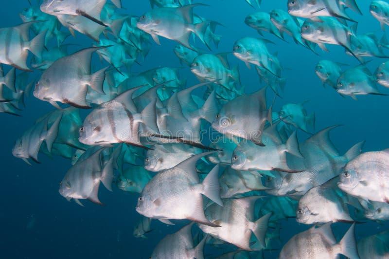 Escola da natação dos peixe-espadas no oceano imagem de stock