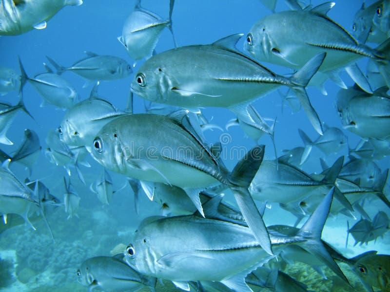Escola de atum fotografia de stock royalty free