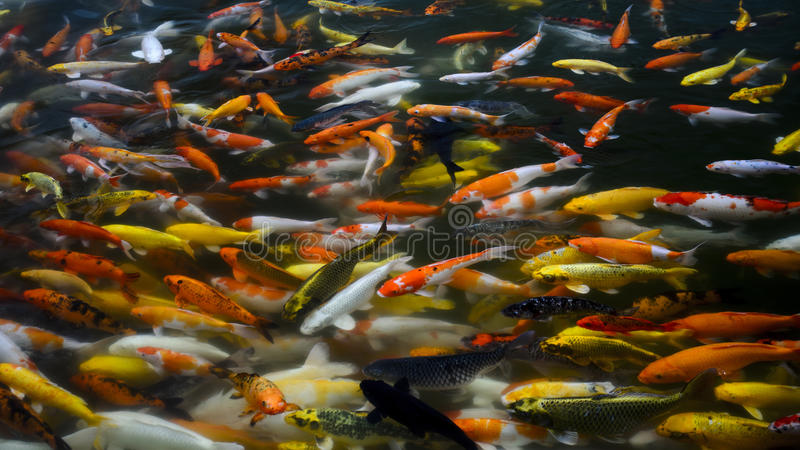 Escola de peixes da carpa de Koi fotos de stock royalty free