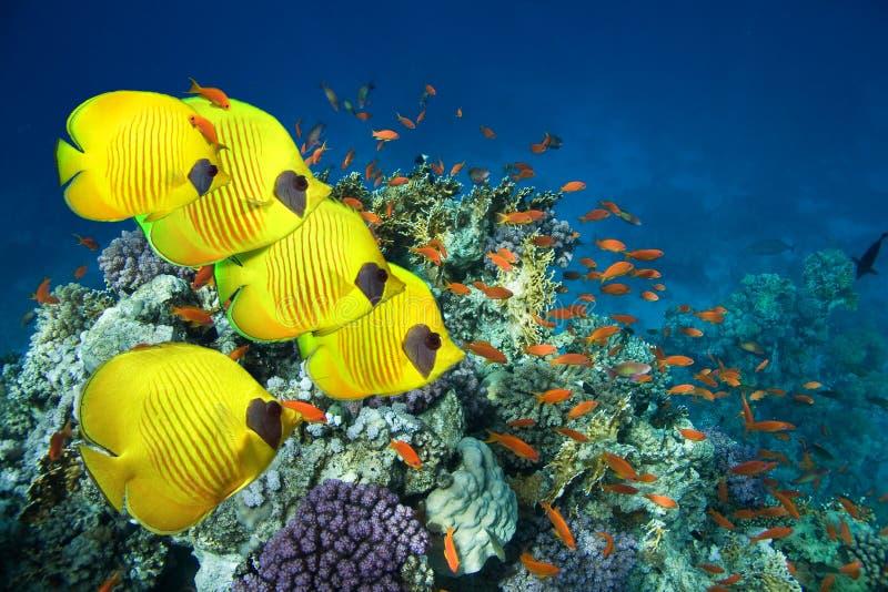 Escola de peixes de borboleta mascarados imagem de stock royalty free