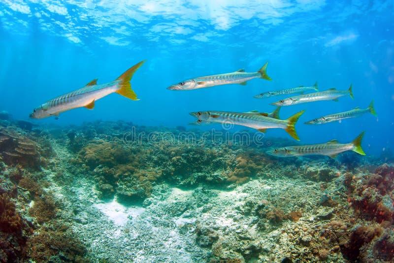 Escola de peixes do Barracuda foto de stock royalty free