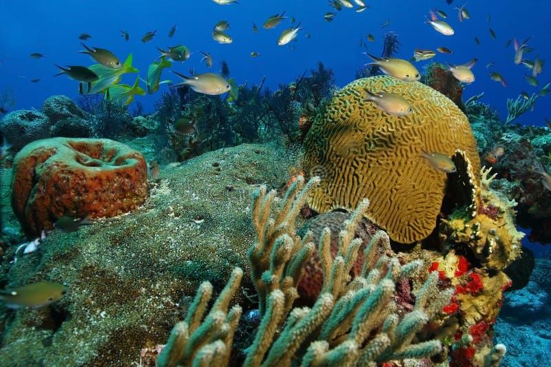 Escola de peixes pequenos sobre o recife coral - Cozumel imagens de stock