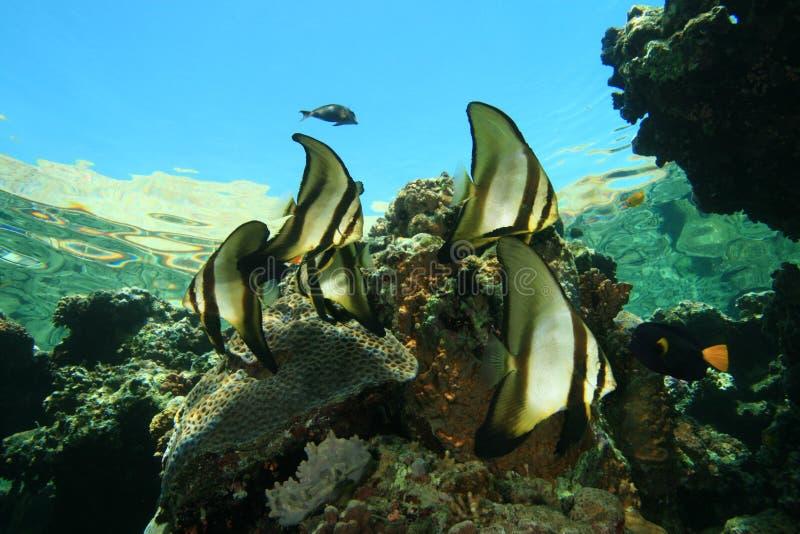 Escola de peixes tropicais imagens de stock