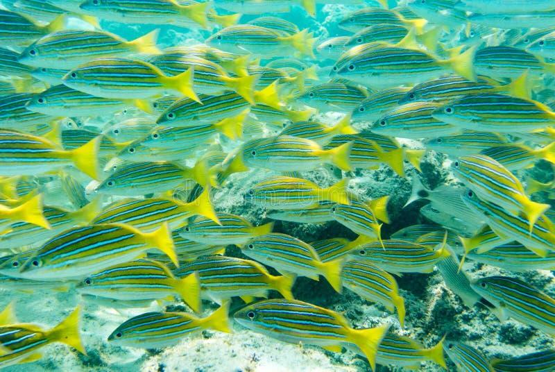 Escola de peixes tropicais fotografia de stock royalty free