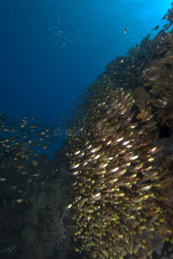 Escola de peixes tropicais dourados fotografia de stock