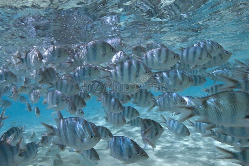 Escola de peixes tropicais - South Pacific imagens de stock