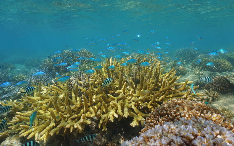 Escola do recife de corais dos peixes Nova Caledônia Oceania imagem de stock