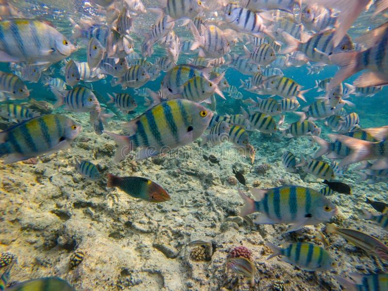 Escola dos peixes de Dascyllus no mar azul Opinião subaquática os peixes corais imagem de stock
