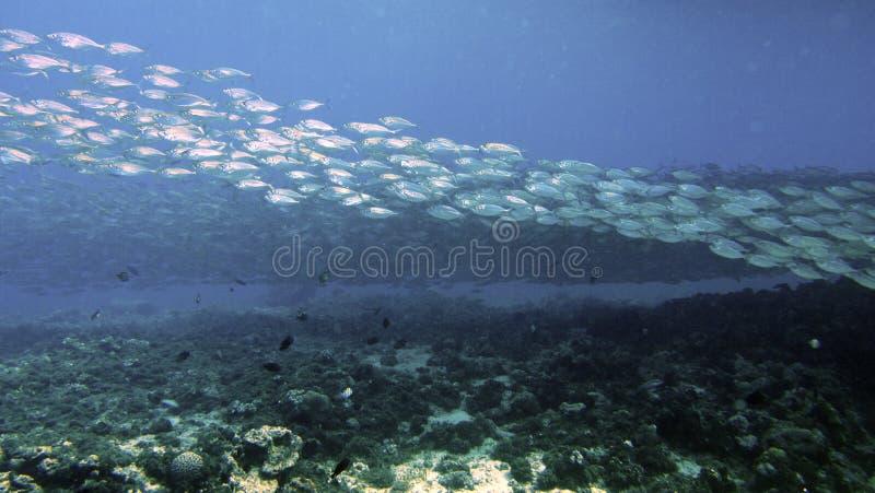 Escola dos peixes de prata fotos de stock