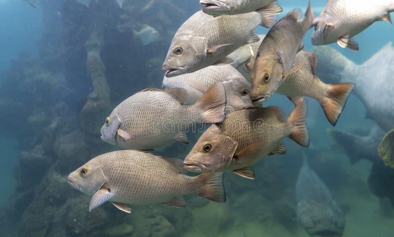 Escola dos peixes do luciano no mar tropical foto de stock