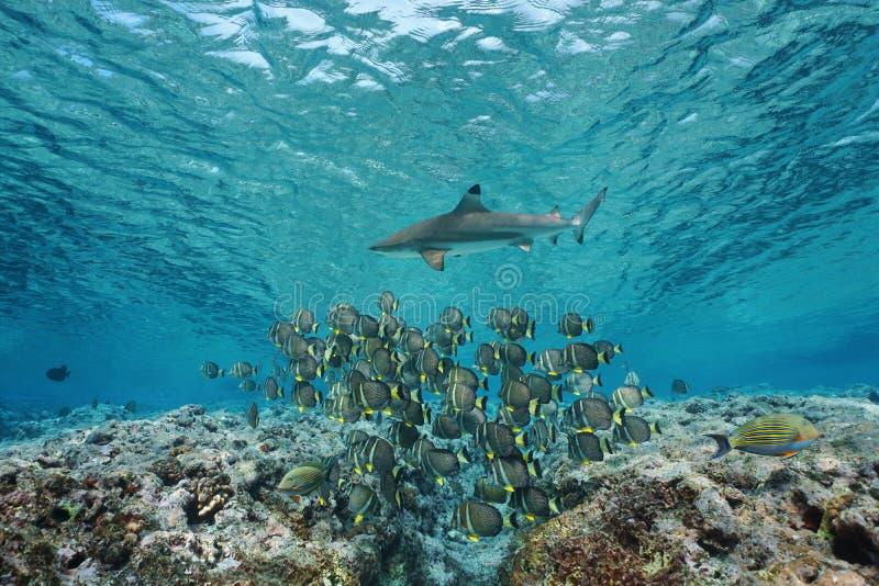 Escola subaquática dos peixes com Oceano Pacífico do tubarão foto de stock royalty free
