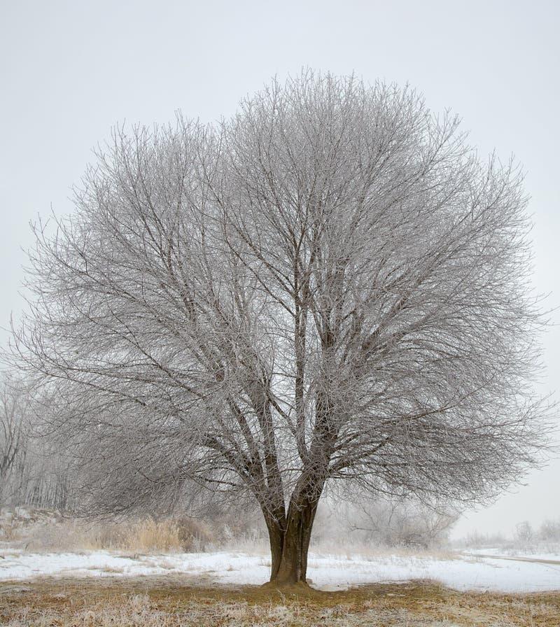 Escolha a árvore congelada no campo do inverno foto de stock