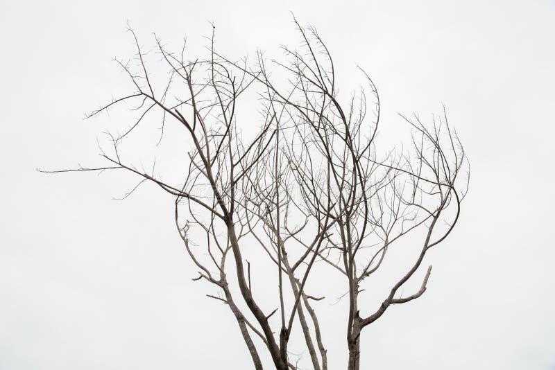 Escolha a árvore velha e inoperante isolada no fundo branco imagens de stock royalty free