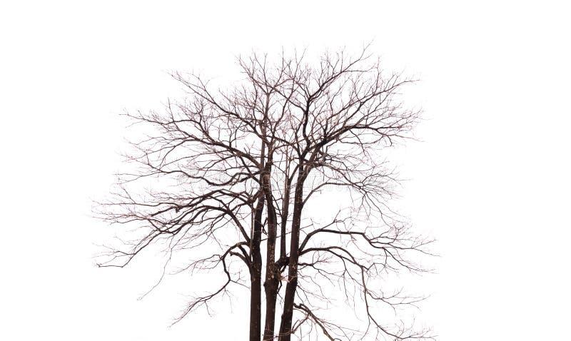 Escolha a árvore velha e inoperante isolada no fundo branco fotografia de stock