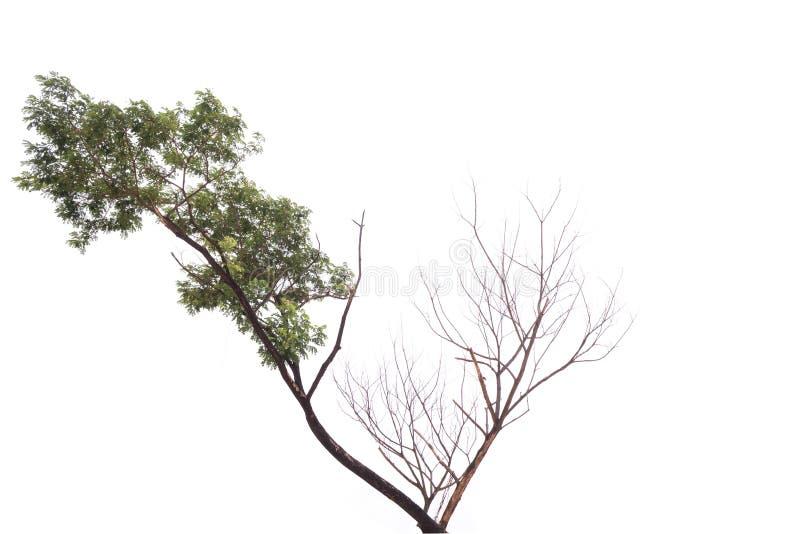 Escolha a árvore velha e inoperante isolada no fundo branco imagem de stock royalty free