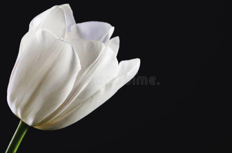 Escolha a cabeça branca da tulipa em um close-up preto do fundo horizont foto de stock royalty free