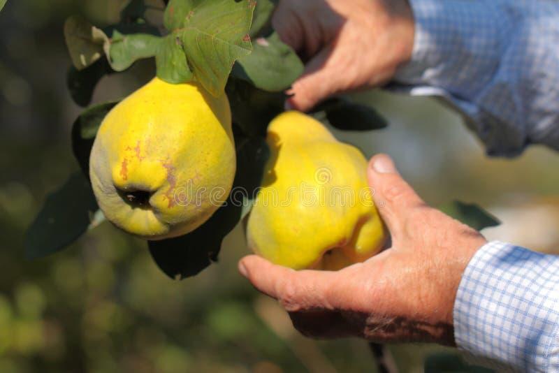 Escolha a colheita de marmelos amarelos maduros imagem de stock