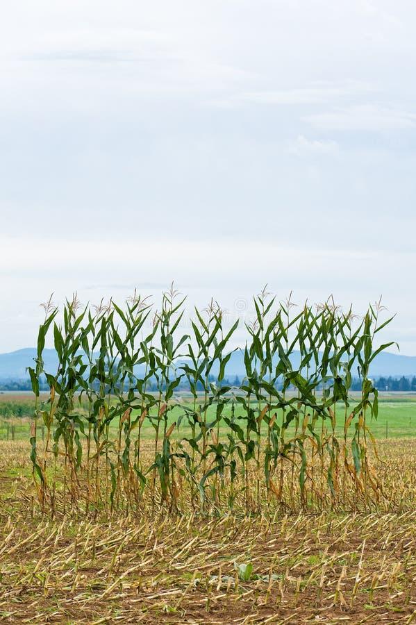 Escolha a fileira do milho em um campo fotos de stock