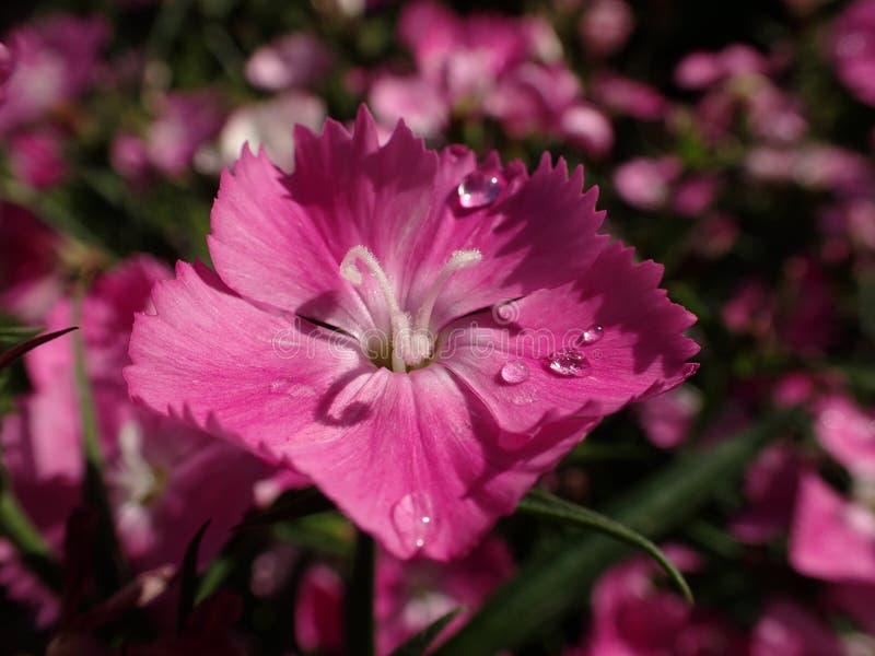 Escolha a flor cor-de-rosa do cravo-da-índia com gotas da água de chuva foto de stock royalty free