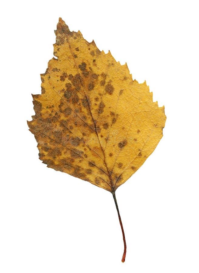 Escolha a folha da árvore de vidoeiro de prata no fundo branco fotografia de stock royalty free