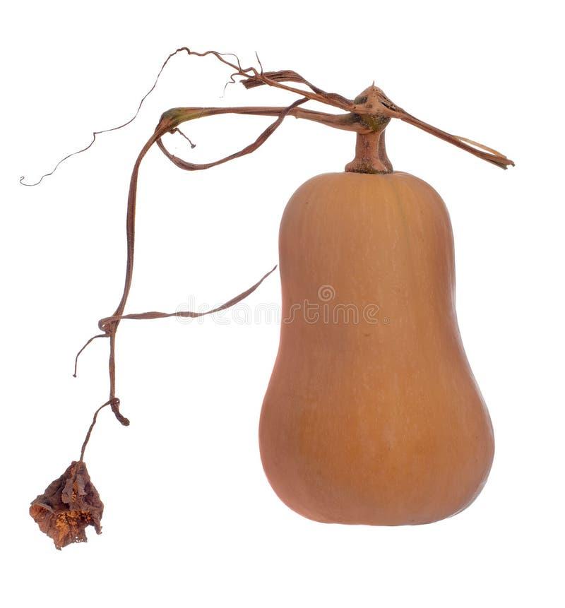 Escolha fresca crescida jardim da abóbora orgânica do butternut e isolado no fundo branco fotografia de stock royalty free