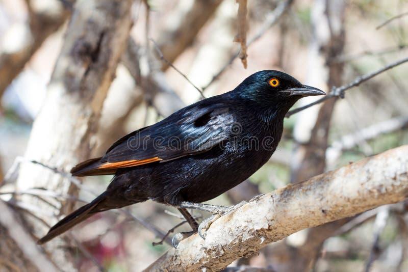Escolha o estorninho Pálido-voado, Namíbia imagem de stock