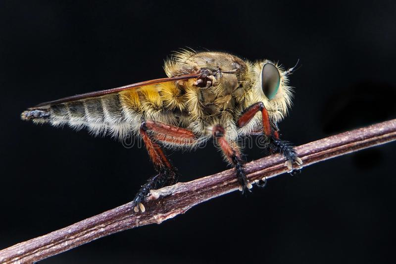 Escolha robberfly fotografia de stock