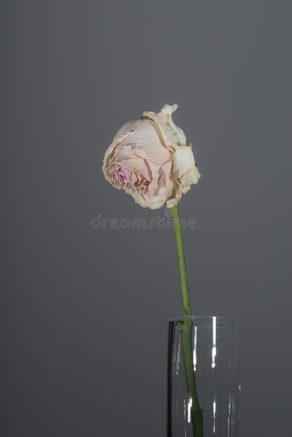 Escolha a rosa longo-provinda murcho do rosa fotos de stock