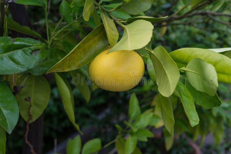 Escolha a toranja amarela do fruto que pendura da toranja paradisi do citrino imagem de stock