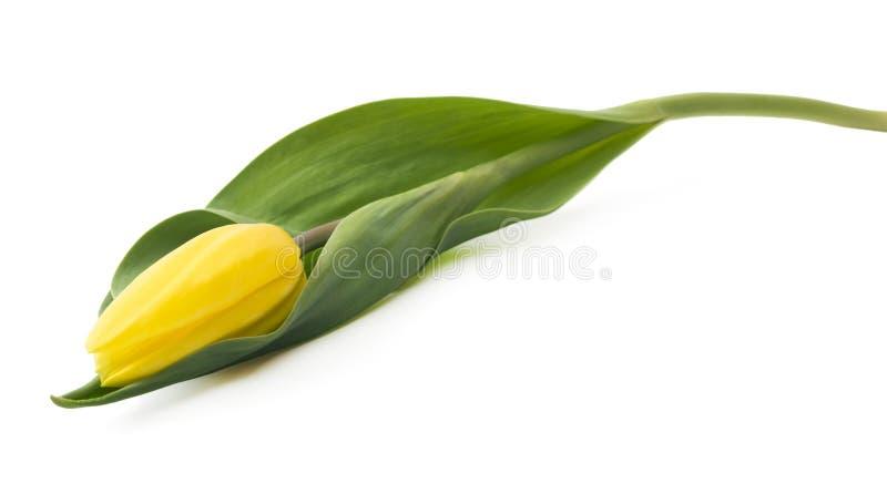 Escolha tulipa amarela detalhada isolada no fundo branco Podia facilmente ser usado para o projeto da arte ou ideias conceptuais imagem de stock royalty free