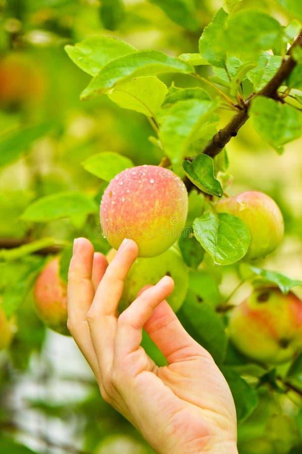 Escolhendo Apple fresco foto de stock royalty free