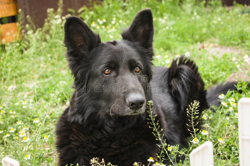 Escolta preta alemão do cão da casa do cão pastor, protetor de vida imagem de stock