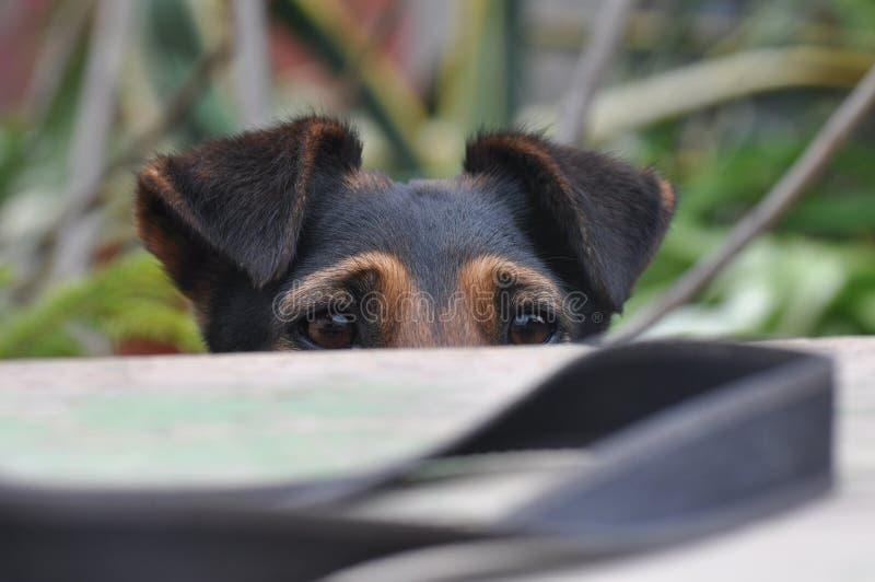 Esconder do cão foto de stock