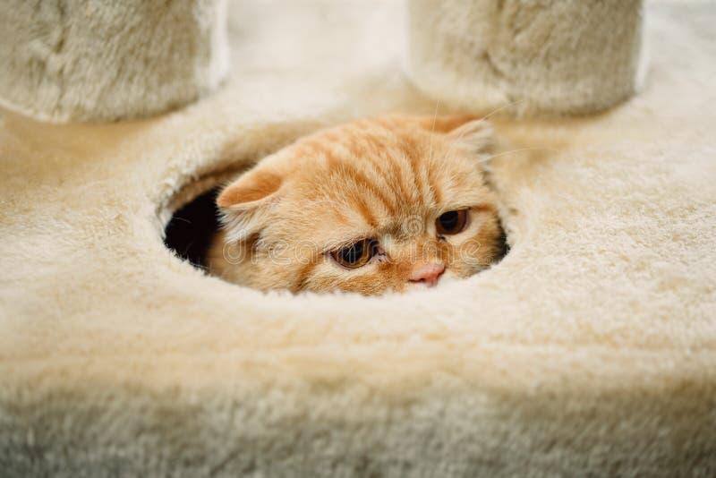 Esconder do gato da dobra do Scottish fotos de stock royalty free